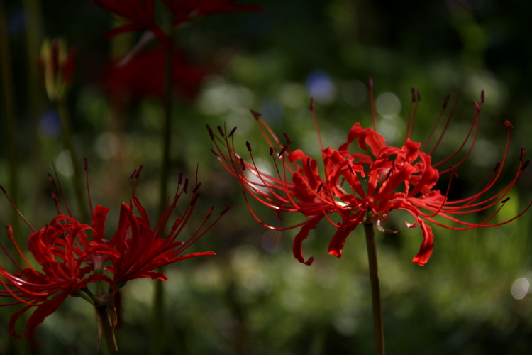 Lycoris radiata_f0281446_2264337.jpg