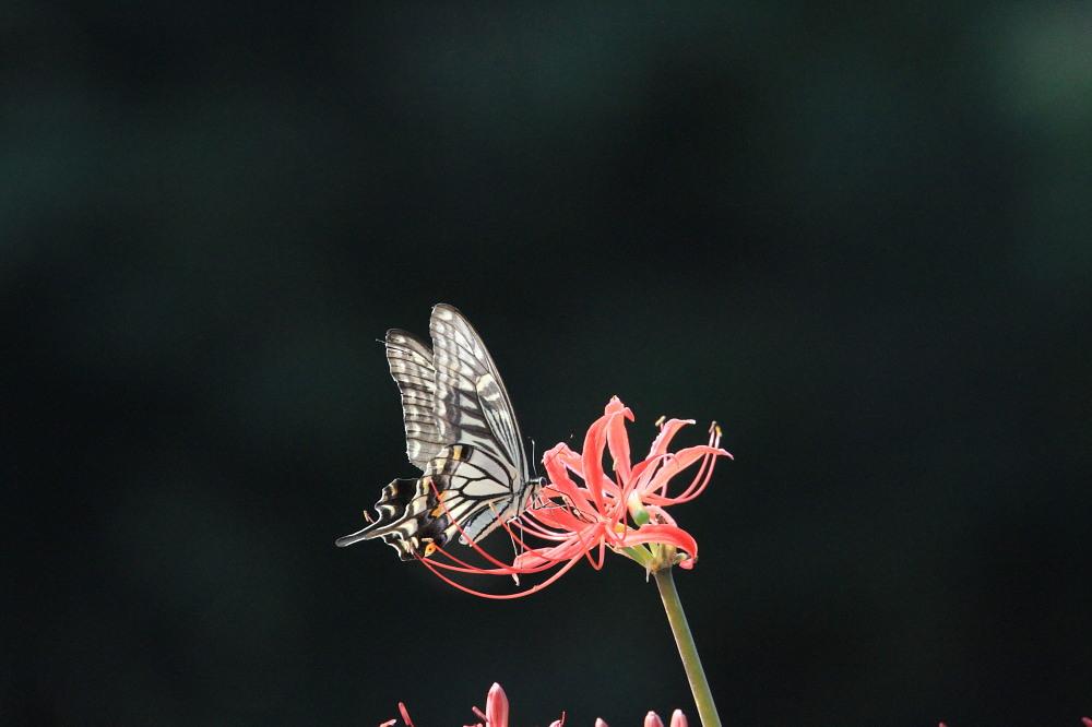 アゲハ  ブラックな背景で透過光模様。 2013.9.21神奈川県②_a0146869_17223240.jpg