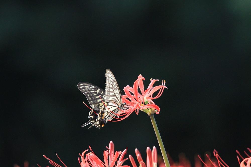 アゲハ  ブラックな背景で透過光模様。 2013.9.21神奈川県②_a0146869_17224382.jpg