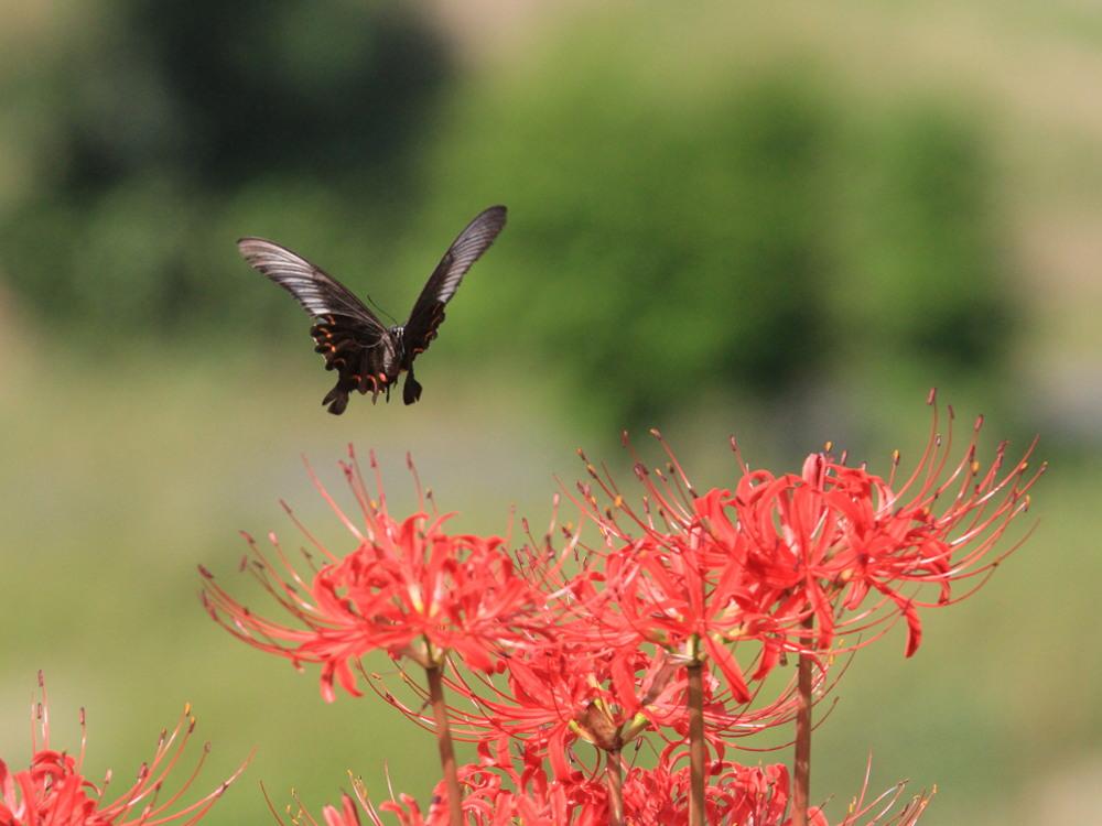 アゲハ  ブラックな背景で透過光模様。 2013.9.21神奈川県②_a0146869_17332196.jpg