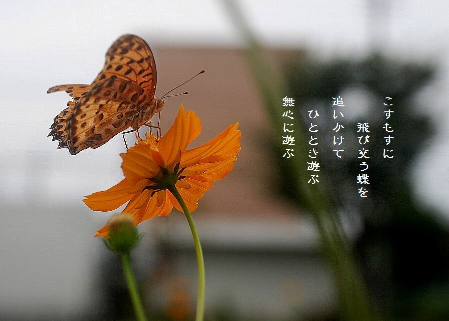 蝶とキバナコスモス_c0187781_02181.jpg