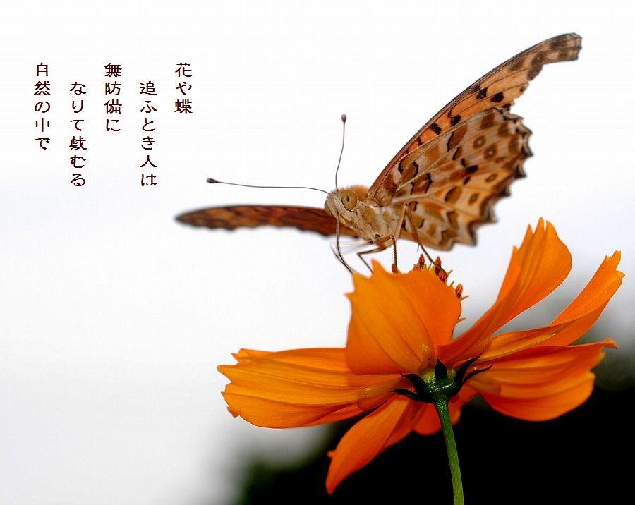 蝶とキバナコスモス_c0187781_0584084.jpg