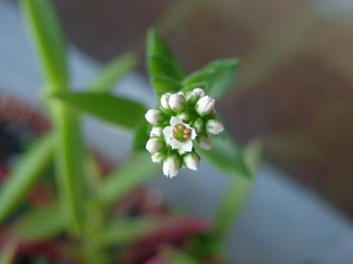 その後の多肉植物 花が咲いた!_a0279116_2107100.jpg
