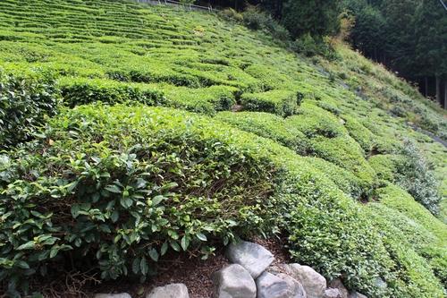 春日・在来茶を考えるシンポジウムへ_b0220318_2382655.jpg