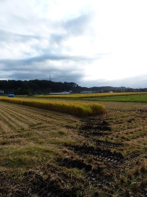 稲刈り_a0288621_21282070.jpg