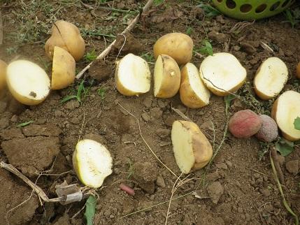 おくばせながら秋野菜植え_a0139242_5443216.jpg