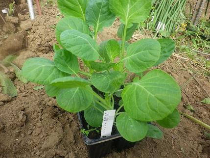おくばせながら秋野菜植え_a0139242_5513028.jpg