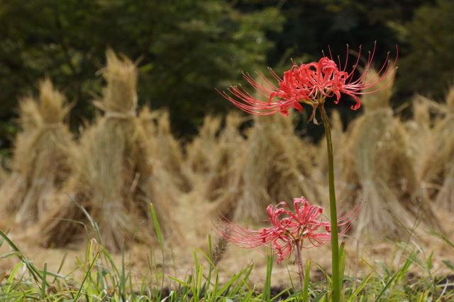 稲刈りの季節_a0257652_21411595.jpg