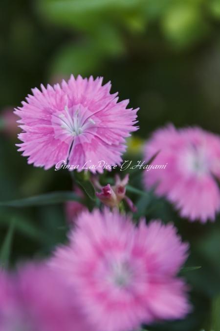花のある風景 小さなダイアンサス_b0133053_0212121.jpg