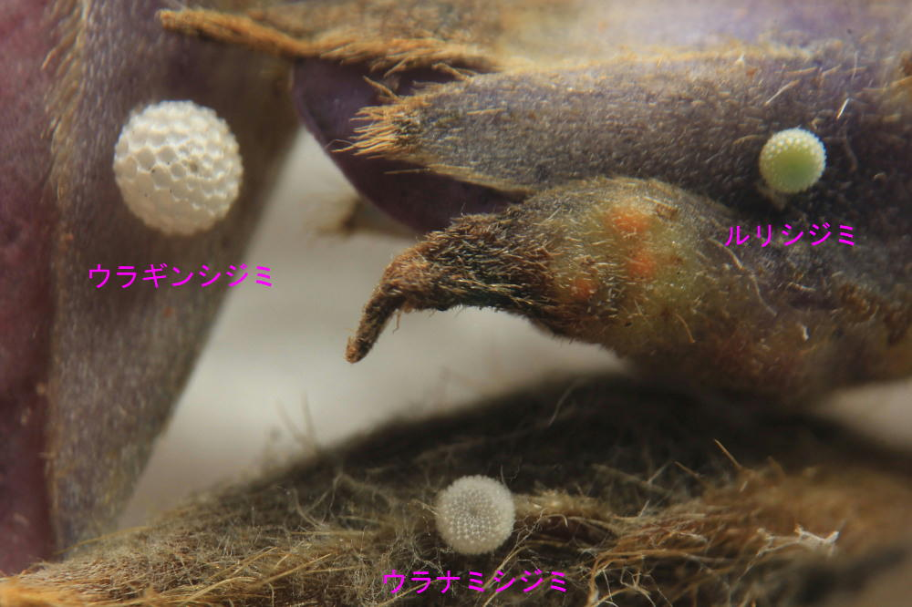 ウラギンシジミ  念願の幼虫発見!! 2013.9.21神奈川県③_a0146869_21334266.jpg