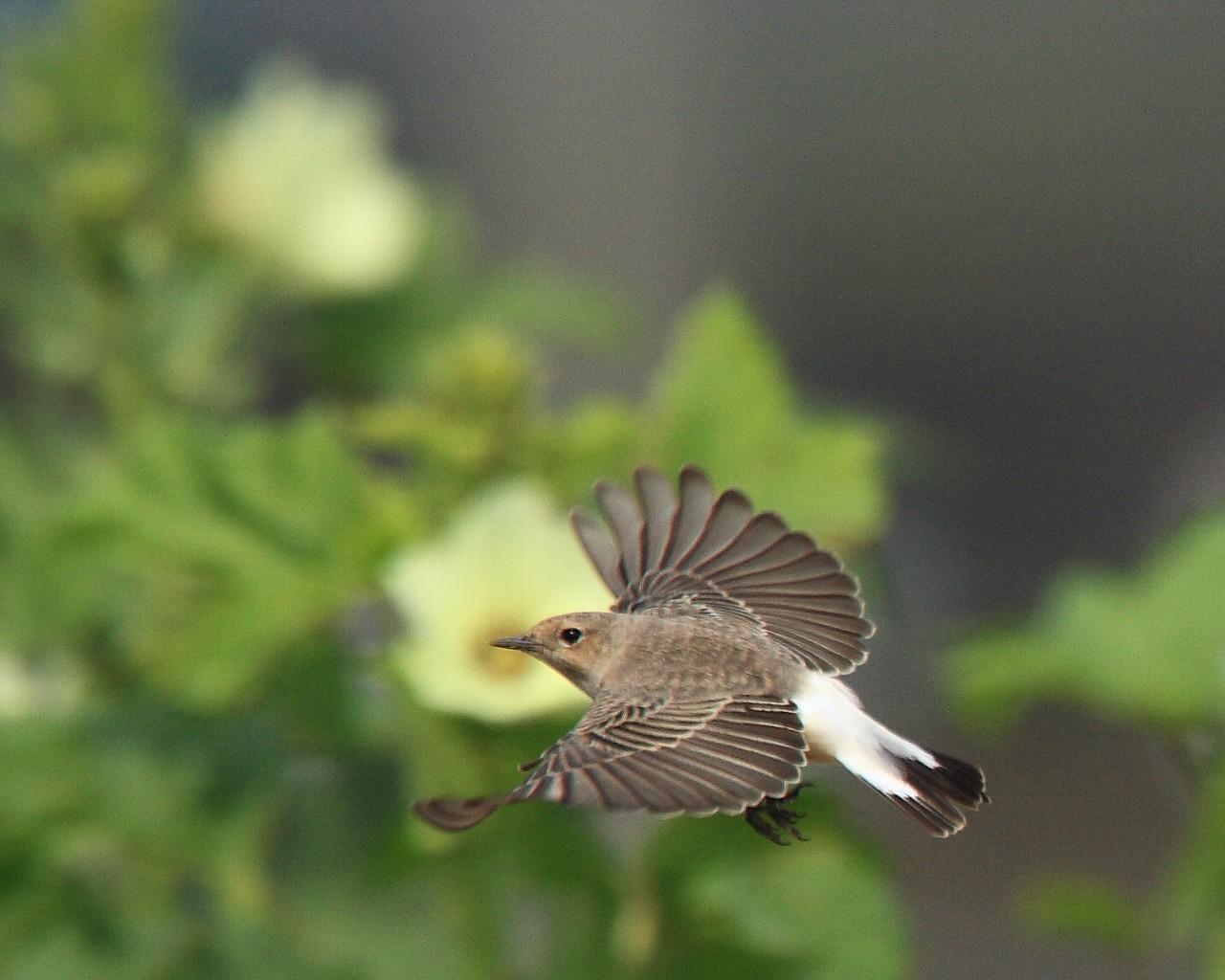 オクラの花をバックに超珍鳥_f0105570_21231458.jpg