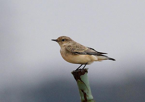 本土初の珍鳥だそうで_d0313867_21123119.jpg