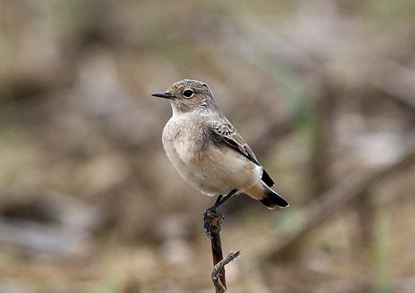 本土初の珍鳥だそうで_d0313867_2191692.jpg