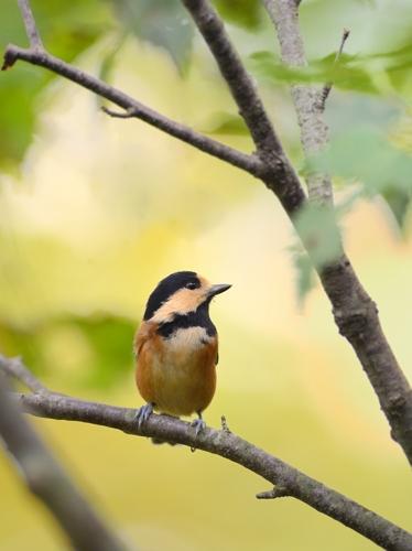 秋の小鳥たち(1)ヤマガラ/コガラ_a0204089_6584234.jpg