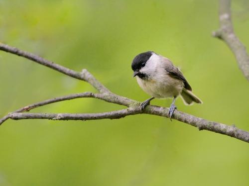 秋の小鳥たち(1)ヤマガラ/コガラ_a0204089_6585144.jpg