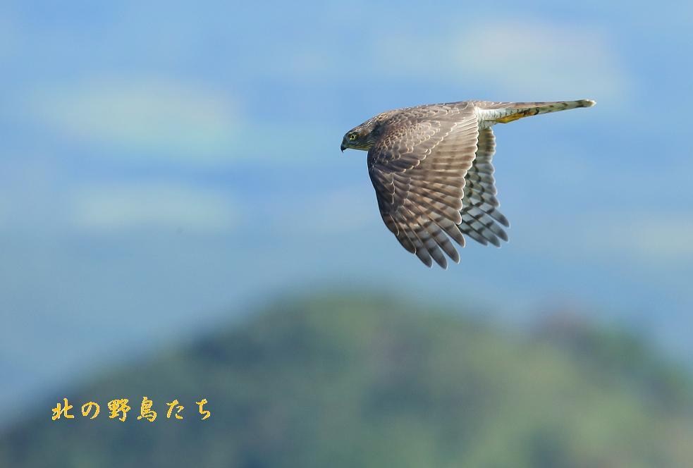 ハイタカ_e0266021_19221230.jpg