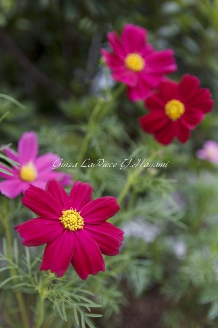 花のある風景 秋の花 コスモス_b0133053_0175961.jpg
