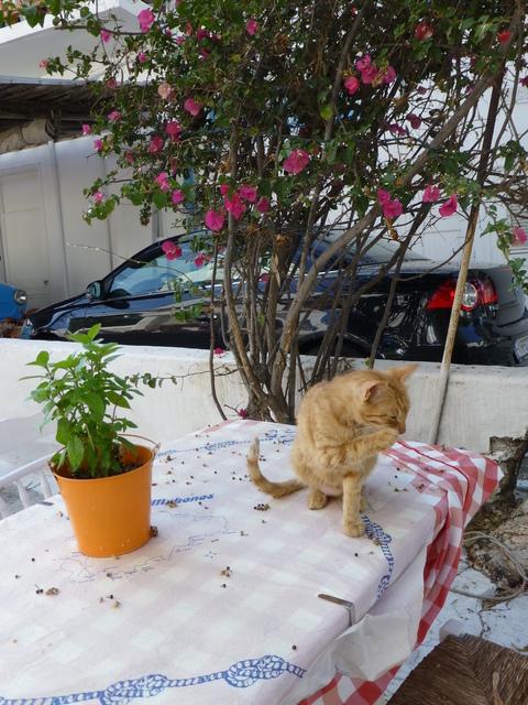 世界の猫 写真館 ギリシャ ミコノス・タウン編_e0237625_22303752.jpg