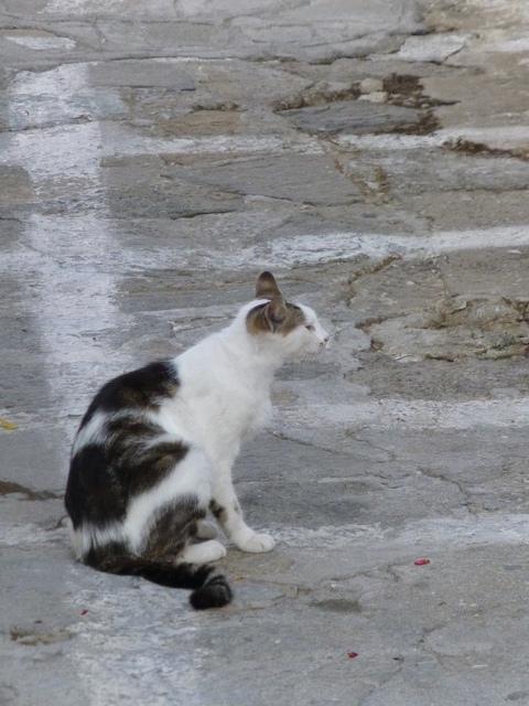 世界の猫 写真館 ギリシャ ミコノス・タウン編_e0237625_22325368.jpg