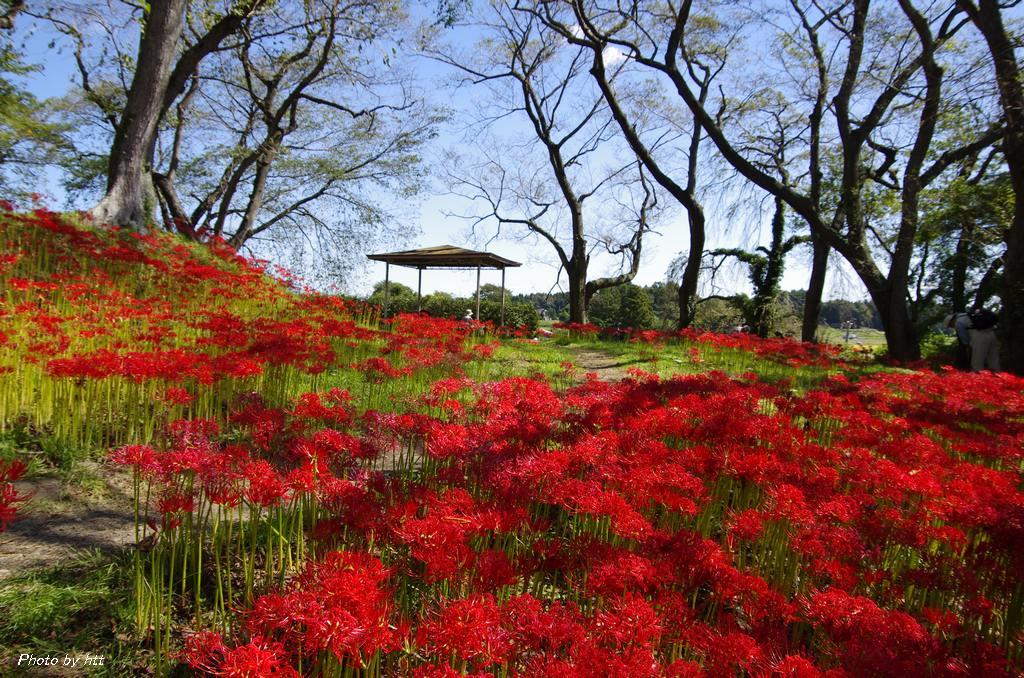 2013年9月27日 羽黒山公園の彼岸花_f0148627_2051596.jpg