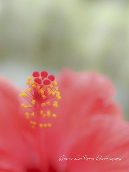 花のある風景 夏の花 ハイビスカスのシベ_b0133053_038529.jpg