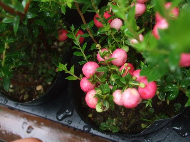 オークリーフ(秋の花)_f0049672_163354.jpg