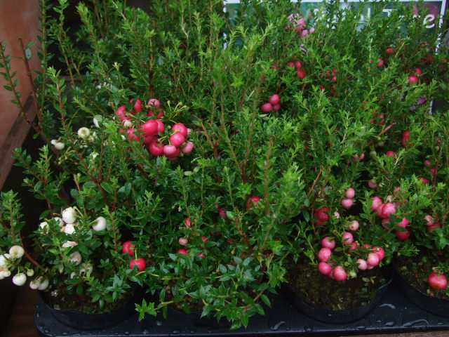 オークリーフ(秋の花)_f0049672_16341938.jpg