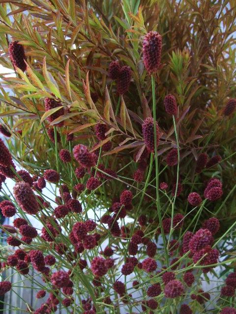 オークリーフ(秋の花)_f0049672_16383971.jpg