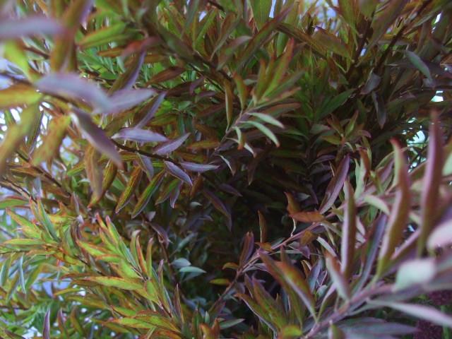 オークリーフ(秋の花)_f0049672_16394163.jpg