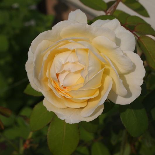 秋のバラ_a0292194_21353888.jpg
