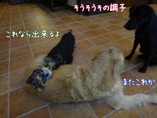 大型犬に慣れてもらうためのゲーム_f0064906_15574337.jpg