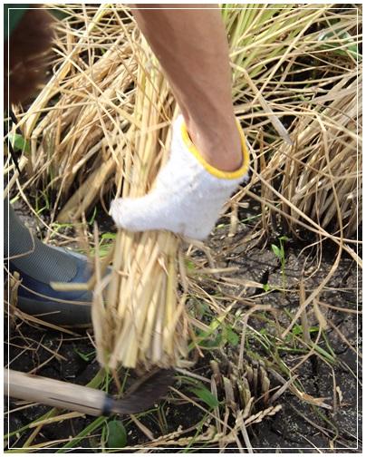 稲刈り初体験!_c0141025_155393.jpg