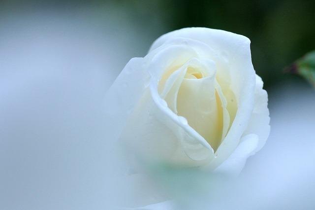 秋のバラ 2_c0155950_23381685.jpg