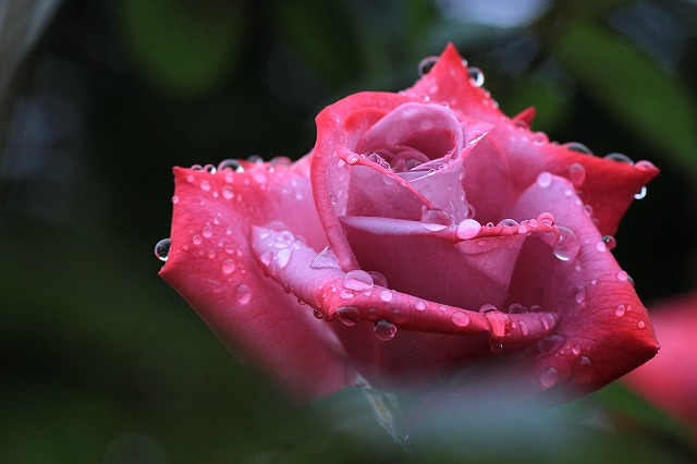 秋のバラ 2_c0155950_233855100.jpg
