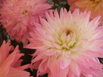 オークリーフ(ダリアのスタンド花)_f0049672_1150555.jpg