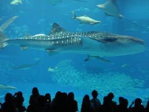 沖縄美ら海水族館_c0100865_1426034.jpg