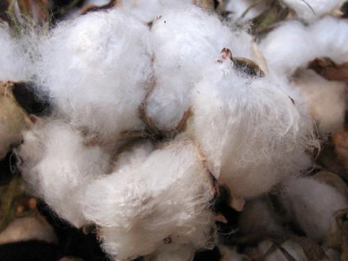 綿の実たくさん_e0221708_18172634.png