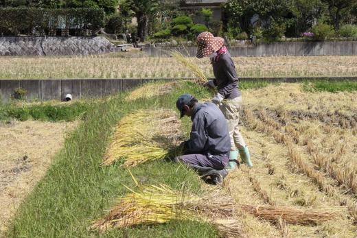 ちこり村の稲刈り2013_d0063218_1222180.jpg