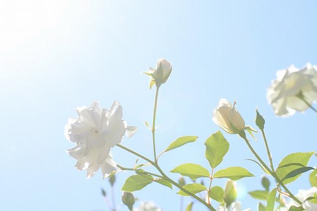 秋のバラ 3_c0155950_0401530.jpg