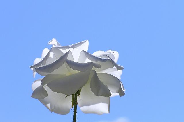 秋のバラ 3_c0155950_0404678.jpg