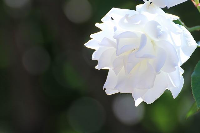 秋のバラ 3_c0155950_0421828.jpg