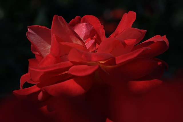 秋のバラ 4_c0155950_0435960.jpg