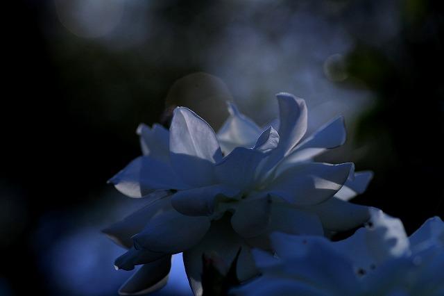 秋のバラ 4_c0155950_0441110.jpg