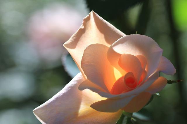 秋のバラ 4_c0155950_0443413.jpg