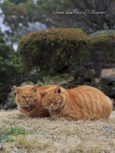 猫のいる風景 日比谷公園のチャッピーちゃん_b0133053_2131729.jpg