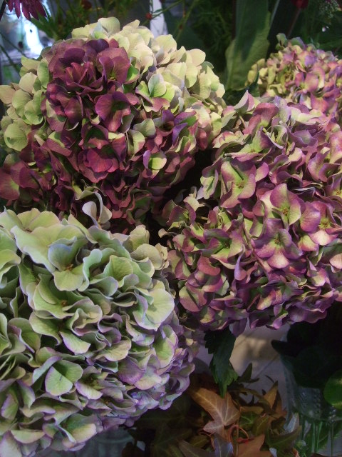 オークリーフ(秋色紫陽花、そしてコスモス)_f0049672_1651522.jpg