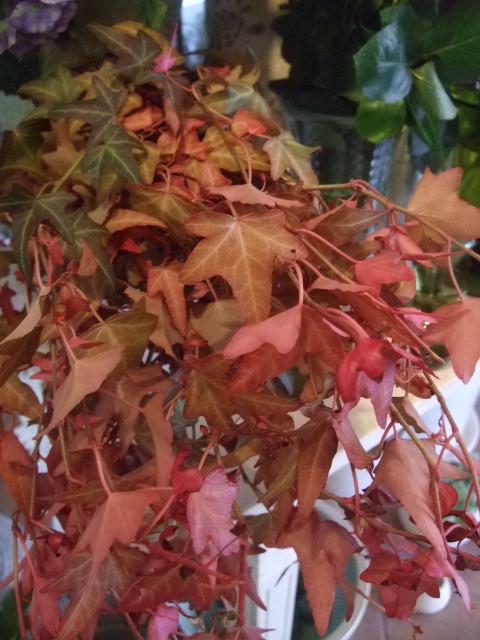 オークリーフ(秋色紫陽花、そしてコスモス)_f0049672_1653467.jpg