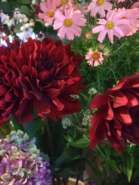 オークリーフ(秋色紫陽花、そしてコスモス)_f0049672_1653976.jpg