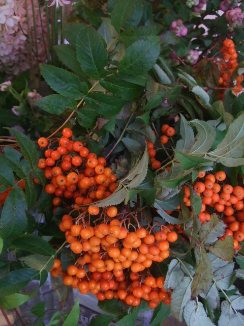 オークリーフ(秋色紫陽花、そしてコスモス)_f0049672_1662060.jpg