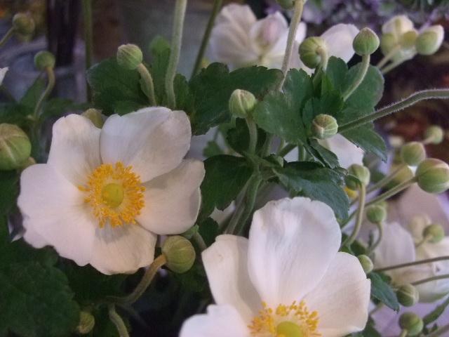 オークリーフ(秋色紫陽花、そしてコスモス)_f0049672_1664021.jpg